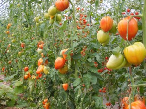 tomates coeur de boeuf dans les Vosges