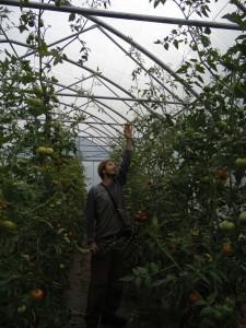 tomates bio dans les vosges Yann PIERREL