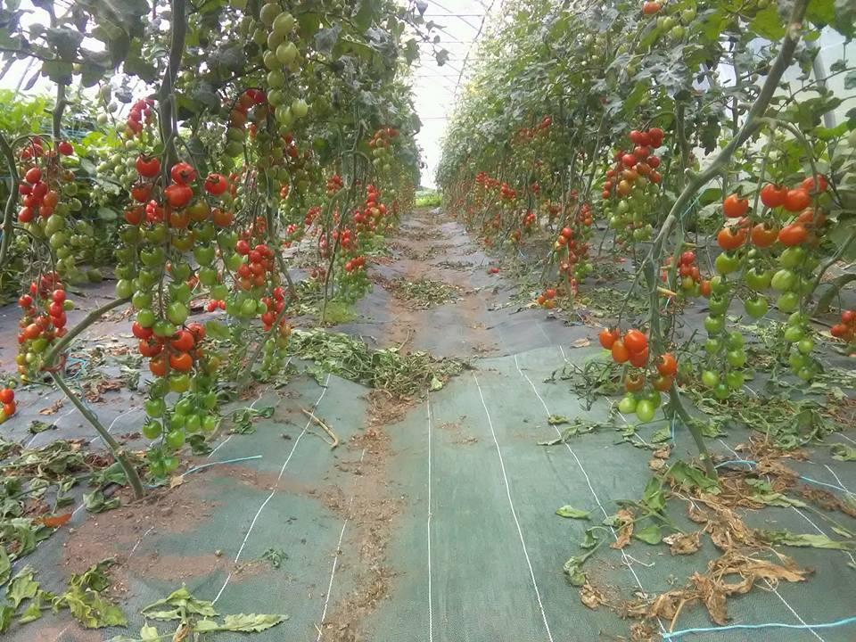 Serre de tomates biologiques